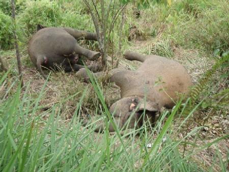 Two female elephants killed near Elephant Conservation Center