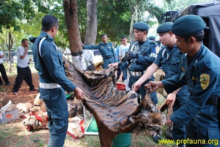Tiger skin confiscated by the Forestry Department