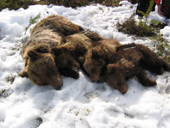 A temporarily anaesthetised family of brown bears with three yearlings. The four bears are laid out close together to prevent them from suffering from hypothermia during the short period while they are anaesthetised.