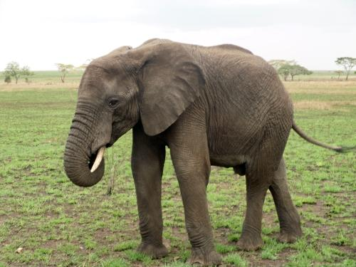 An Elephant in the Serengeti National Park, Tanzania