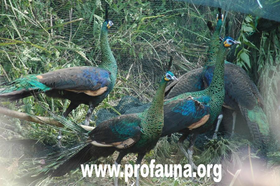 Green peafowls release in a Bromo Tengger Semeru National Park in Indonesia