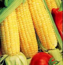 Corn and Beans Hybrid Seeds