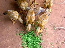 Organic Trace Minerals for Animal Feed