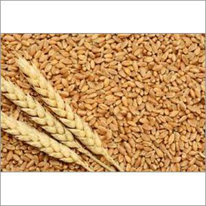 Global Wheat Seed Market 2017 - DuPont Pioneer, Syngenta, AGT,