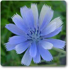 United States Chicory Market Trends and Forecast Report