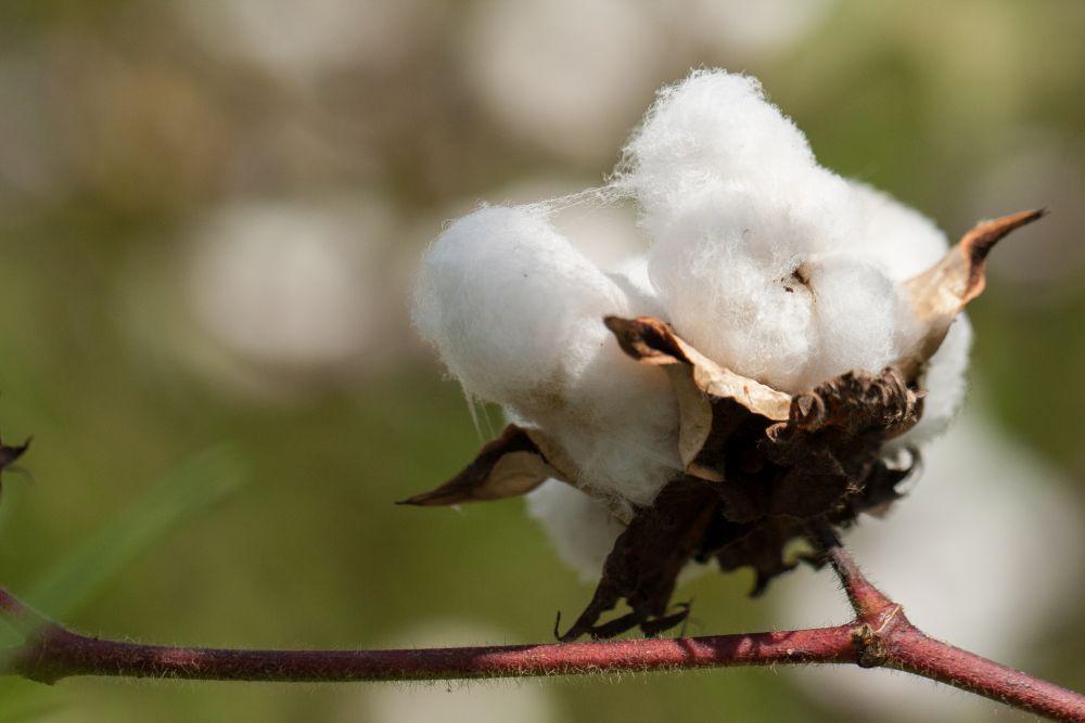 Genuine organic cotton GMO-free from Cotonea