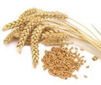 Wheat Seed Market