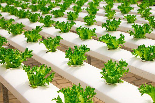 Hydroponic Vegetable Market Dynamics, Forecast, Analysis