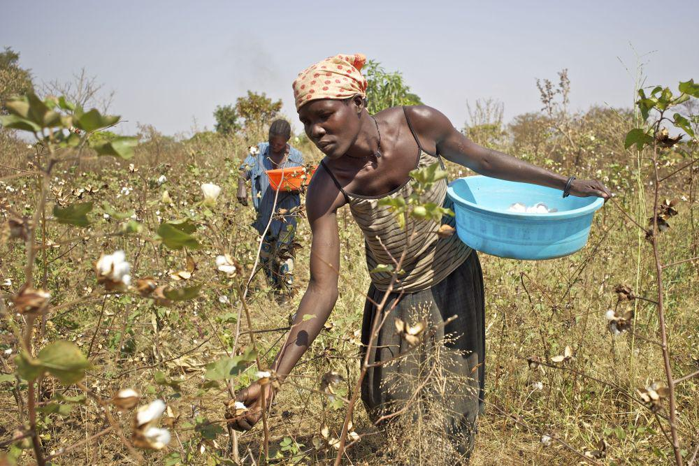 Cotton harvest of an ecologically-farmed field which uses rain water in Uganda. Credit: Klaus J.A. Mellenthin