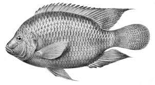 Global Tilapia market 2018: Dynamics, Segments, Size and Demand