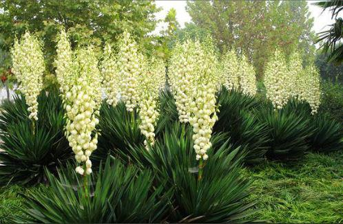Yucca Extract Material Market