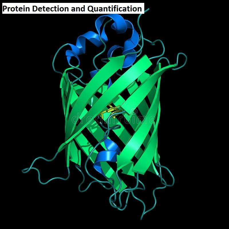 Protein Detection and Quantification Market