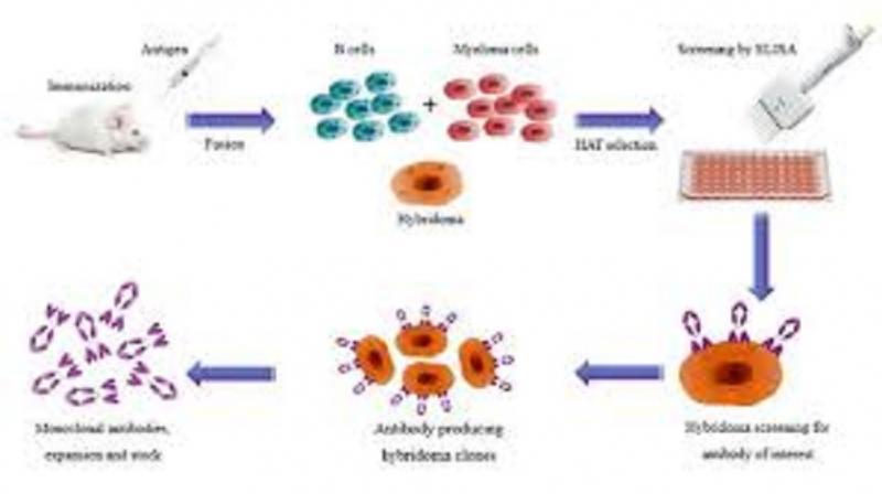Monoclonal Antibody Market