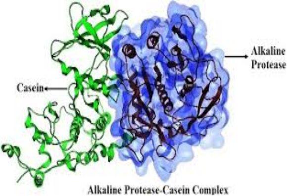 Alkaline Proteases Market