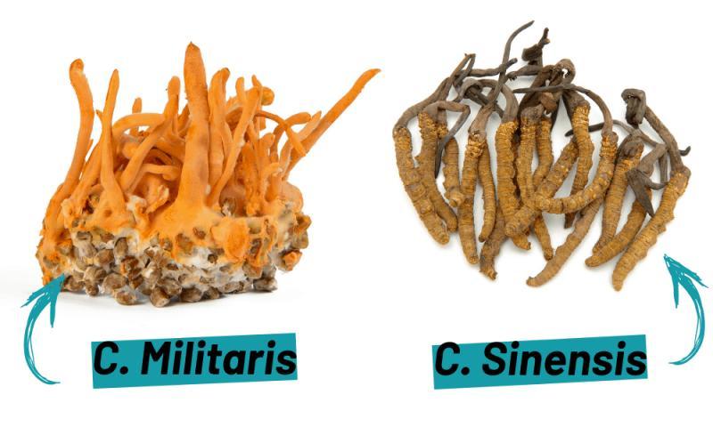 Cordyceps Sinensis and Militaris Extract Market