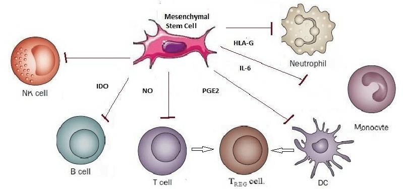 Mesenchymal Stem Cells Market