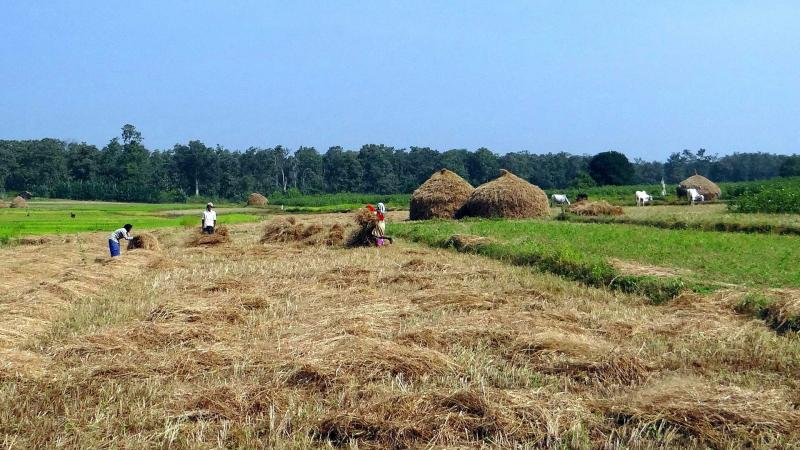 Indian farmers collecting rice straw