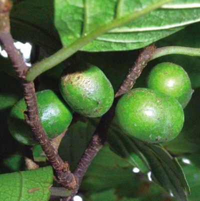 Global Pygeum Bark Africanum P.E Market Expected to Witness