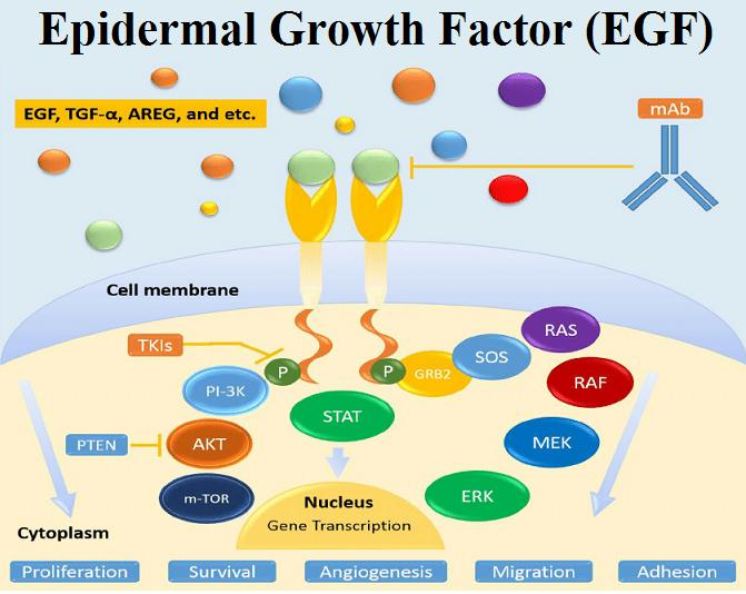 Epidermal Growth Factor (EGF) Market