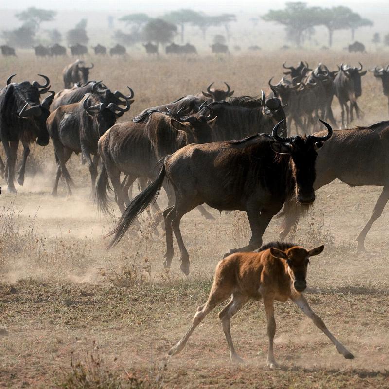 Wildebeest herd and calf