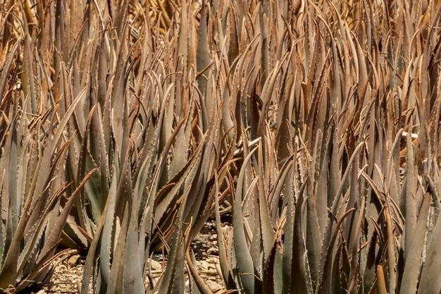 COVID-19 Impact on Dried Aloe Vera Market