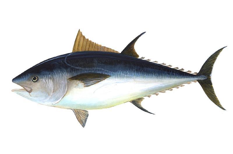 Tuna Market