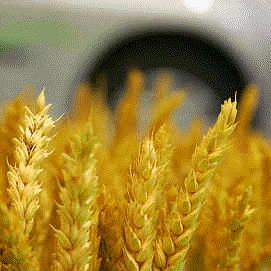 Ethanol from wheat