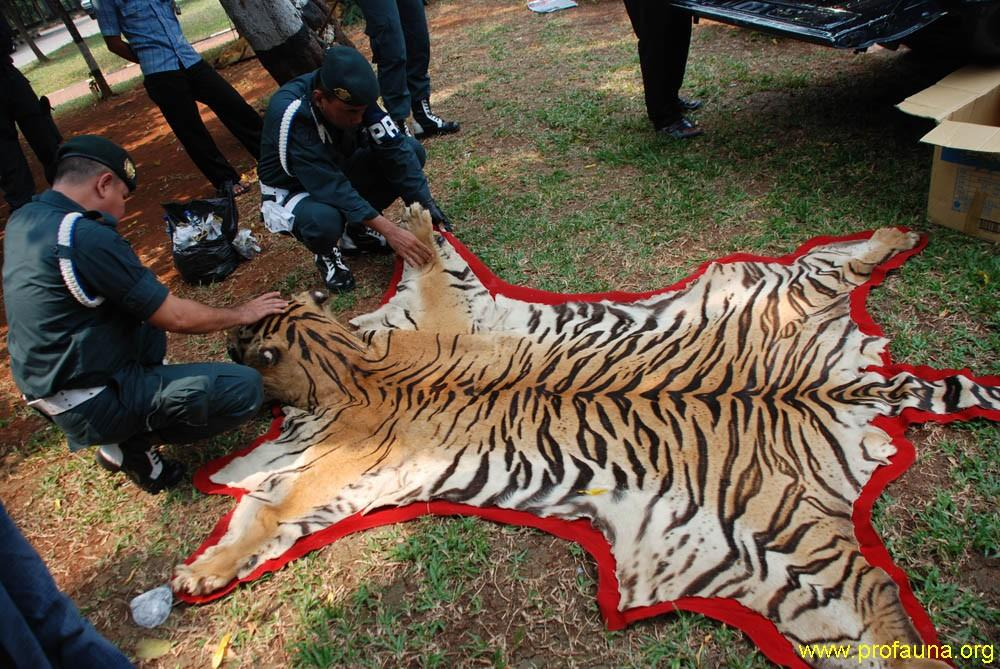 Tiger Skin Confiscated by the Indonesian Forestry Department